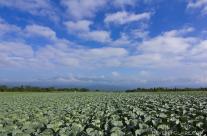 Cabbage Field at Kitakaruizawa in Nagano