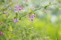 Bush clover or Japanese clover