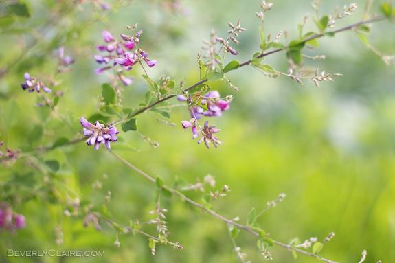 ヤマハギ or コマツナギ Bush clover or Japanese clover
