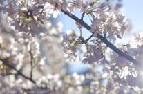 Backlit Plum Blossoms