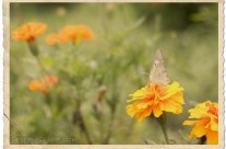 Marigold and a Butterfly