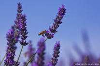 Lavender and the Bee 2