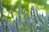 Lavender and Bokeh
