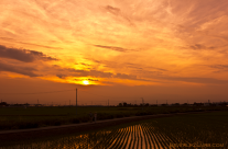 Ricefields at Sunset