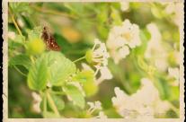 Butterfly & White Lantana