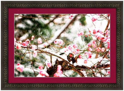 Plum Blossoms Covered in Snow by Beverly Claire Designs