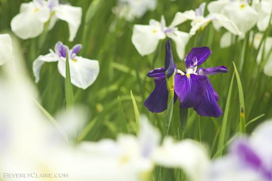 Irises are the grand ladies of the rainy season
