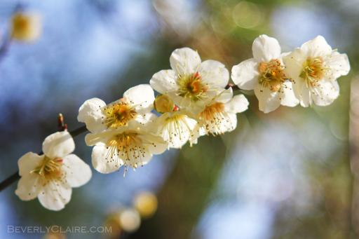 Ume (plum) blosoms at Sankeien Garden