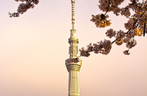 Tokyo Sky Tree Behind the Cherry Blossoms