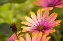 Pinkish-Orange Daisy