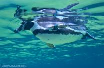 Escape Artist Penguin